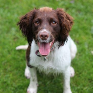 10 facts english springer spaniels and why I love them