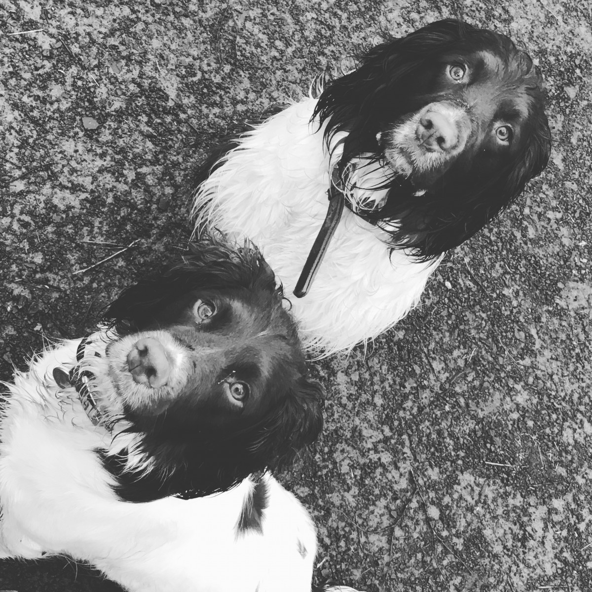 Millie_Harley_English_Springer_Spaniel_Facts