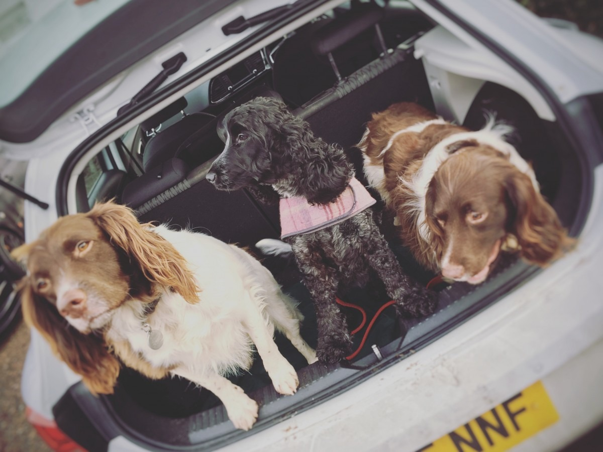 how to travel long distances with your dog 3 spaniels in a car