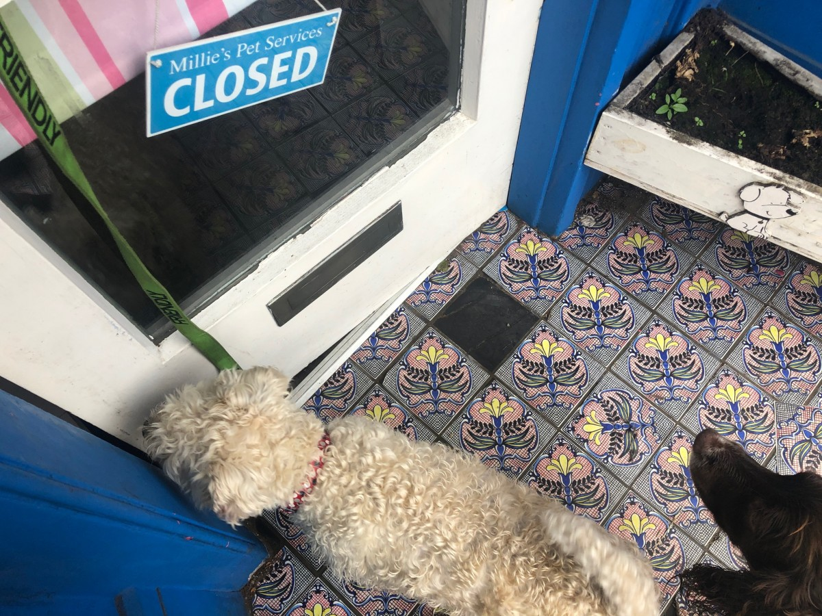 adopt-dog-stitch-bichon-schnzr-arbroath-animal-rescue