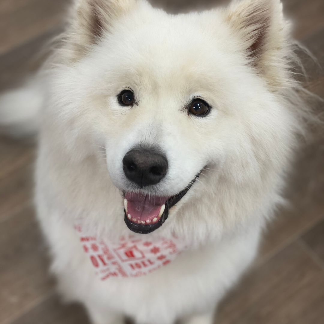 loki-samoyed-dog-groom-carnoustie