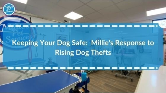 keeping-your-dog-safe-millies-response-to-rising-dog-thefts
