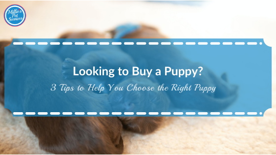 looking-buy-puppy-tips-help-you-choose-right-puppy